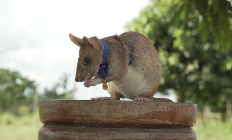 Photo of An amazing mine detecting mice awarded with gold medal by PDSA