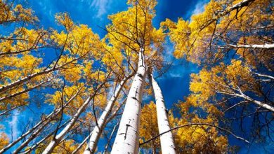 Photo of Oldest Tree Of The World: Pando(Populus tremuloides)