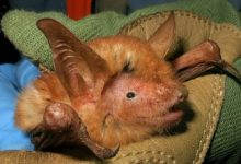 New Bat Species
