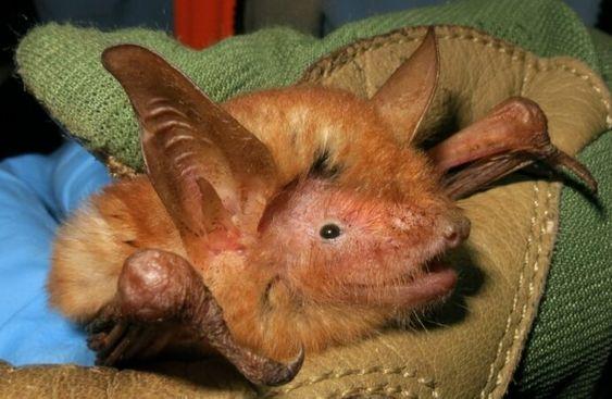 New Bat Species
